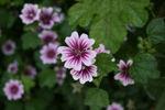 Gardenflower1